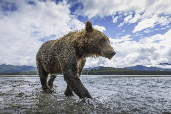 Bear Wall Art - Photograph - Wide Angle View Of Coastal Brown Bear by Paul Souders