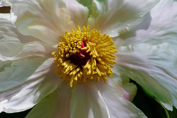 Photograph - Wide Open White Peony by Polly Castor