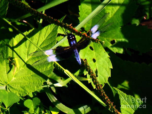 Photograph - Widow Skimmer Dragonfly by Rockin Docks Deluxephotos