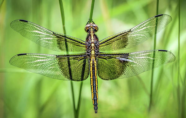 Skimmers Photograph - Widow Skimmer Dragonfly by Wes Iversen
