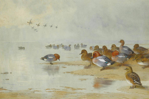 Mixed Media - Wigeon And Teal By The Water Edge By Thorburn by Archibald Thorburn