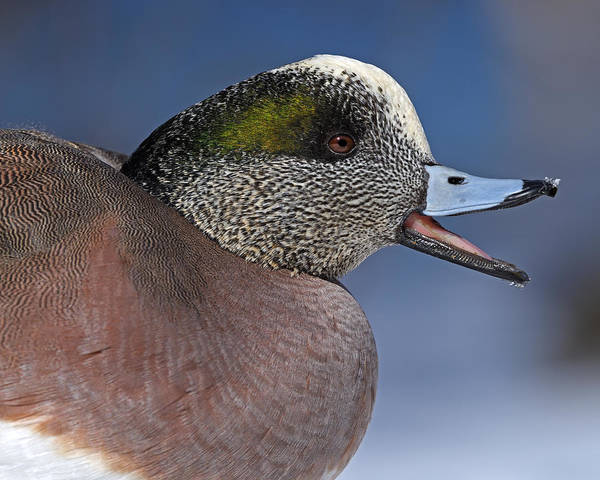 Photograph - Wigeon Calling by Tony Beck