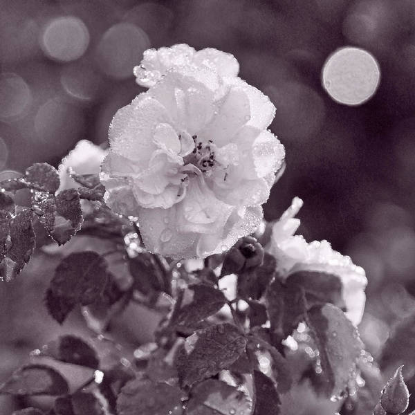 Photograph - Wild And Sparkling by Leda Robertson