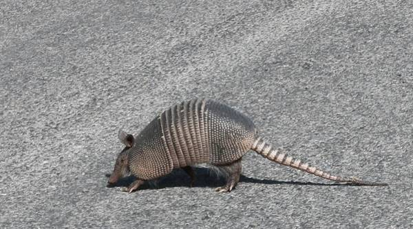 Photograph - Wild Armadillo  by Christy Pooschke