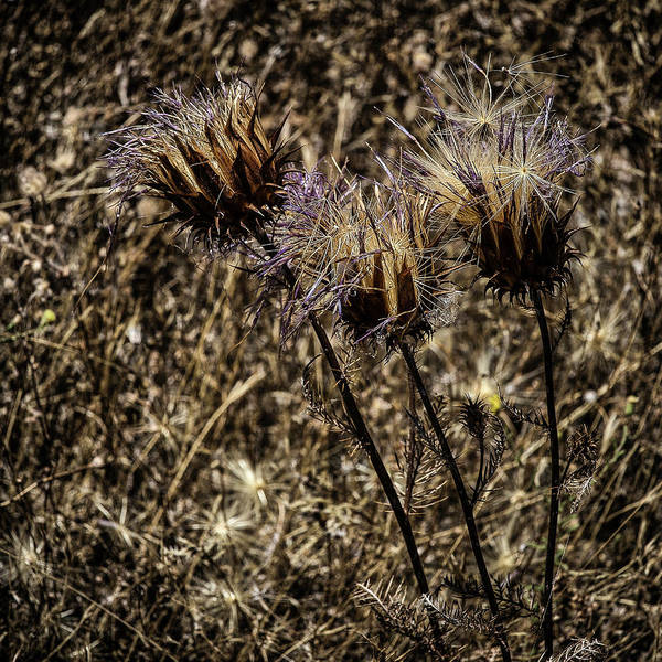 Photograph - Wild Artichoke by Edgar Laureano