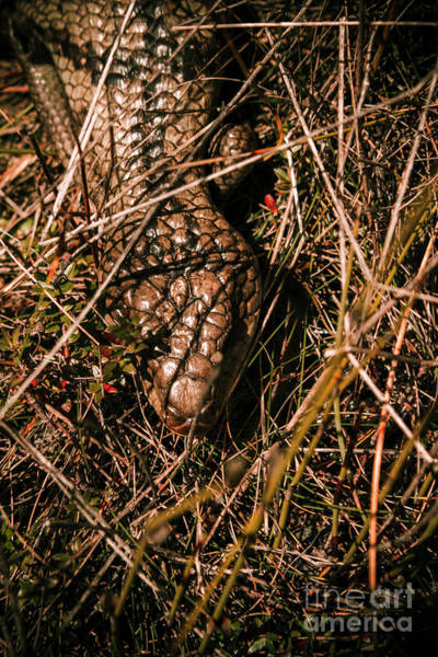 Alert Wall Art - Photograph - Wild Australian Blue Tongue Lizard by Jorgo Photography - Wall Art Gallery