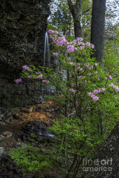 Photograph - Wild Azalea At Keon Falls by Barbara Bowen