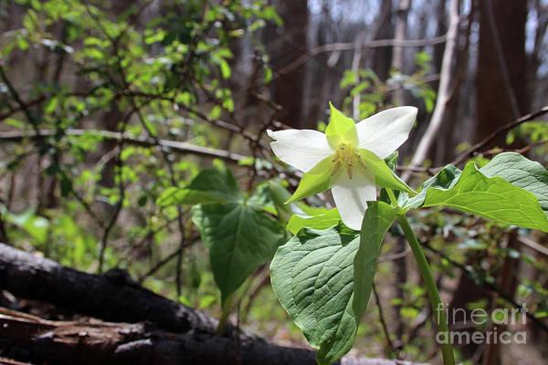 Photograph - Wild Beauty Trillium by Karen Adams