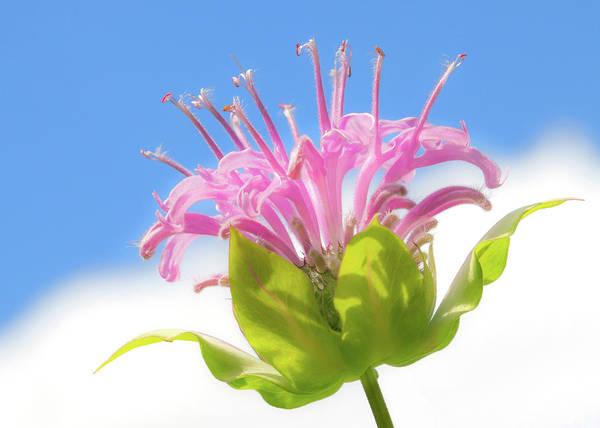 Photograph - Wild Bergamot Or  Bee Balm by Jim Hughes
