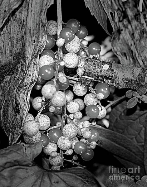 Photograph - Wild Berries In Black And White by Smilin Eyes  Treasures