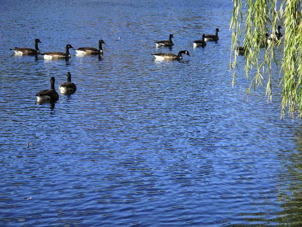 Photograph - Wild Birds On A Pond 6 by Frank Romeo