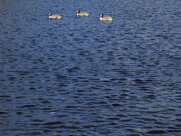 Photograph - Wild Birds On A Pond by Frank Romeo