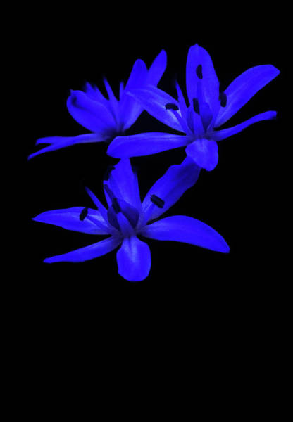 Photograph - Wild Blue Bell by Cliff Norton