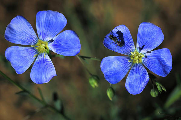 Wall Art - Photograph - Wild Blue Flax by Donna Kennedy