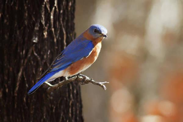 Wildbird Photograph - Wild Blue by Lana Trussell