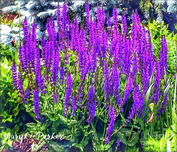 Photograph - Wild Blue Lupine by MaryLee Parker