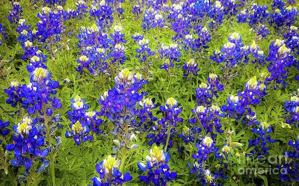 Photograph - Wild Bluebonnets Blooming by D Davila