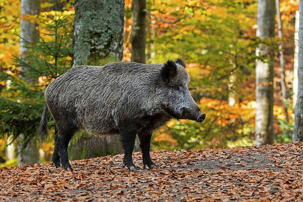 Photograph - Wild Boar In The Fall by Arterra Picture Library
