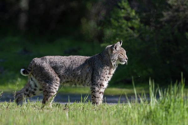 Photograph - Wild Bobcat Stands Profile Looking Toward Sun by Mark Miller