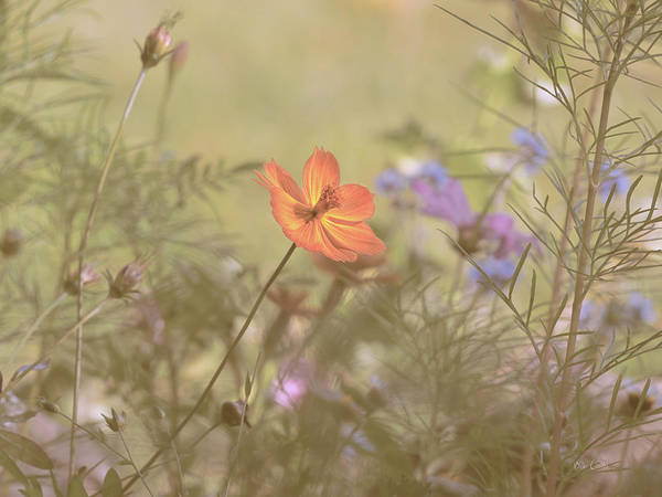 Photograph - Wild California Poppy by Bob Orsillo