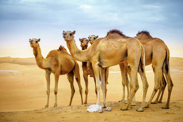 Wall Art - Photograph - Wild Camels In The Desert by Alexey Stiop