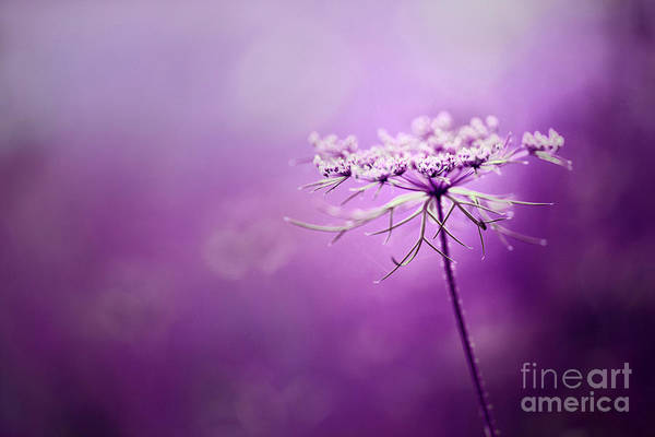 Purple Carrot Photograph - Wild Carrot - Purple Dream by Dirk Czarnota