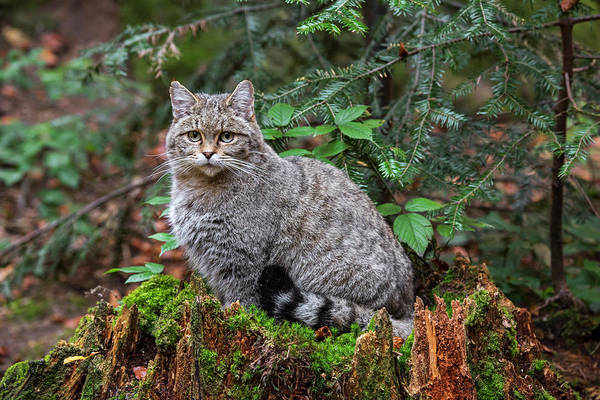 Photograph - Wild Cat On Tree Trunk by Arterra Picture Library