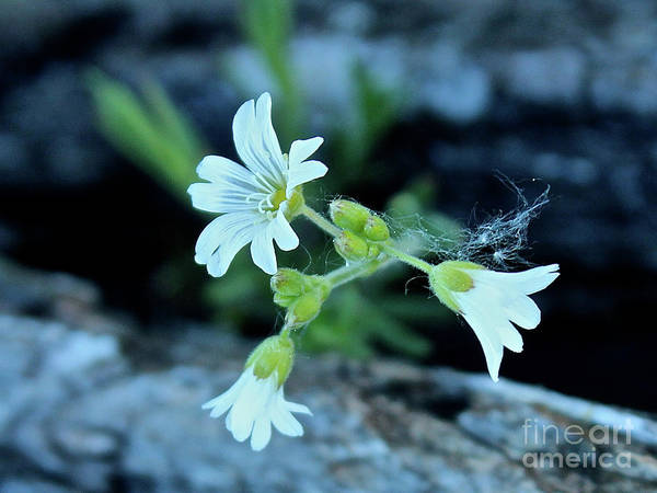 Photograph - Wild Chickweed by Ann E Robson