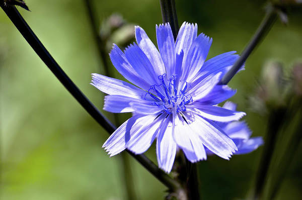 Wild Chicory Art Print by Ross Powell