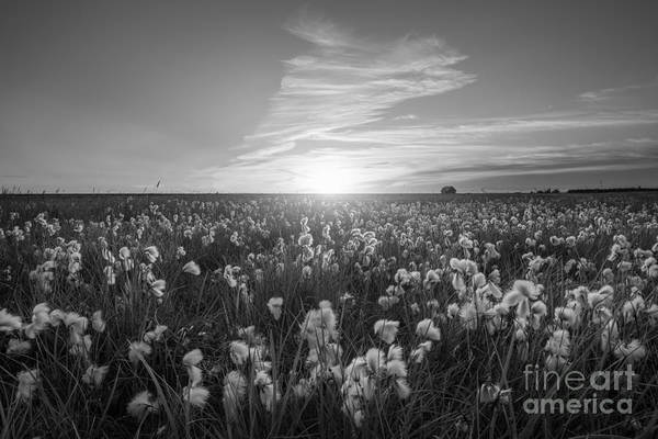 Cotton Photograph - Wild Cotton Field In Iceland Bw by Michael Ver Sprill