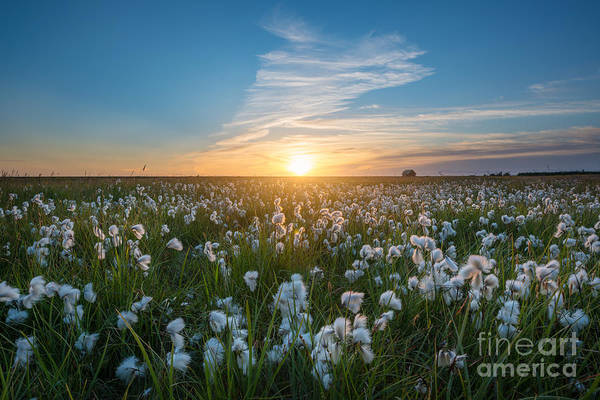 Cotton Photograph - Wild Cotton Field In Iceland  by Michael Ver Sprill