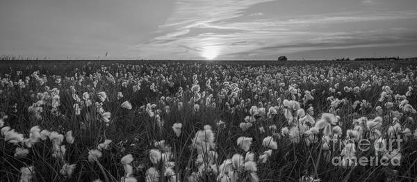Cotton Photograph - Wild Cotton Field Panorama Bw by Michael Ver Sprill