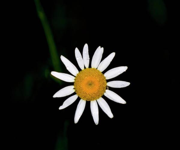 Digital Art - Wild Daisy by Chris Flees