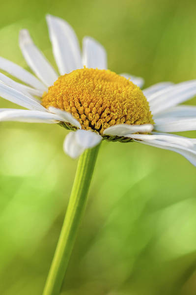 Photograph - Daisy by Ron Pate