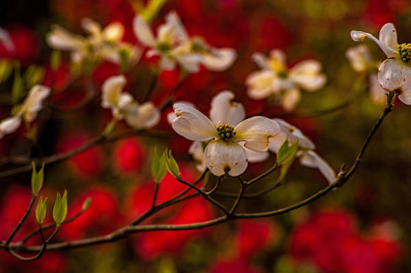 Photograph - Wild Dogwood And Red Azaleas by John harding
