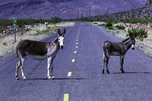 Ass Photograph - Wild Donkeys On Road To Oatman by Garry Gay