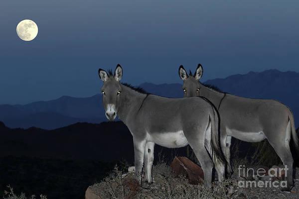 Wall Art - Photograph - Wild Donkeys by Rick Mann