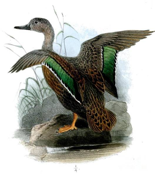 Painting - Wild Duck by Celestial Images