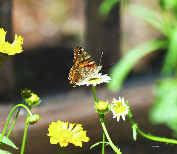 Photograph - Wild Fleabane Visitor by Sally Sperry
