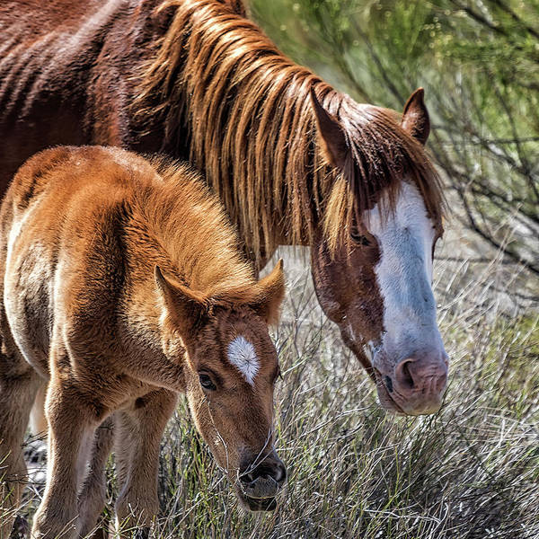 Photograph - Wild Foal With Dad by Belinda Greb