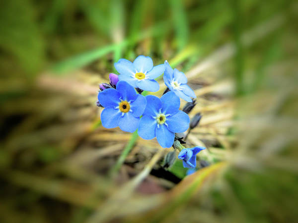 Photograph - Wild Forget Me Not by Valerie Anne Kelly
