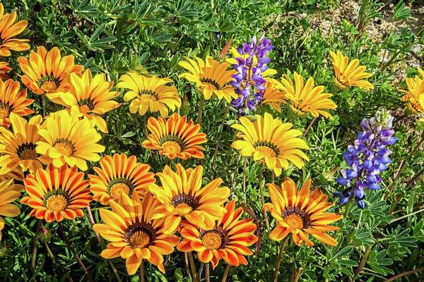 Photograph - Wild Gazanias And Lupines In Porter Ranch by Lynn Bauer