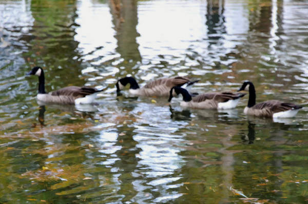 Water Foul Painting - Wild Geese On A Lake 1 by Jeelan Clark