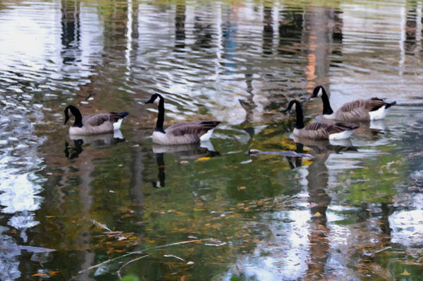 Water Foul Painting - Wild Geese On A Lake 3 by Jeelan Clark