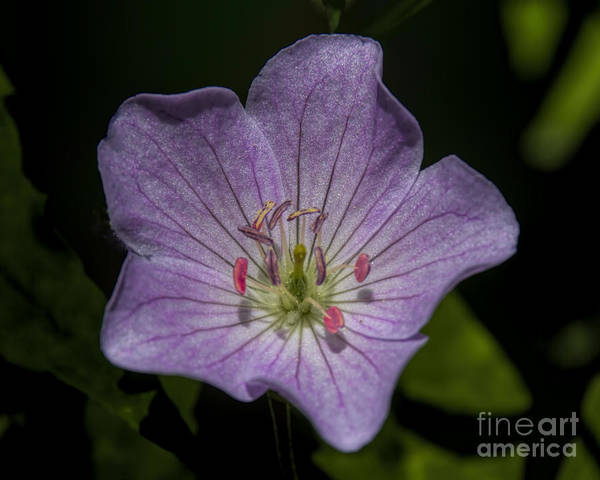Photograph - Wild Geranium by Barbara Bowen