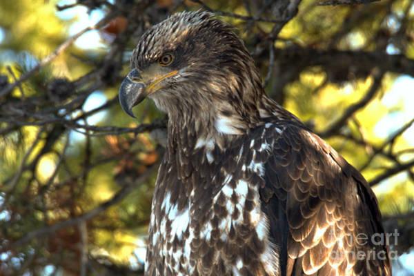 Photograph - Wild Golden Eagle Closeup by Adam Jewell