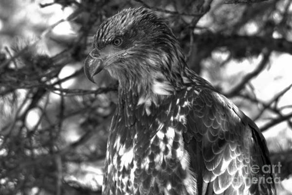 Photograph - Wild Golden Eagle Closeup Black And White by Adam Jewell