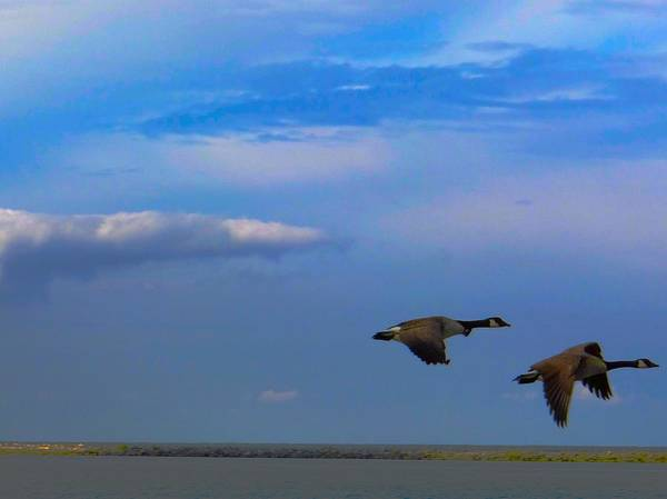 Photograph - Wild Goose Chase by Jenny Regan