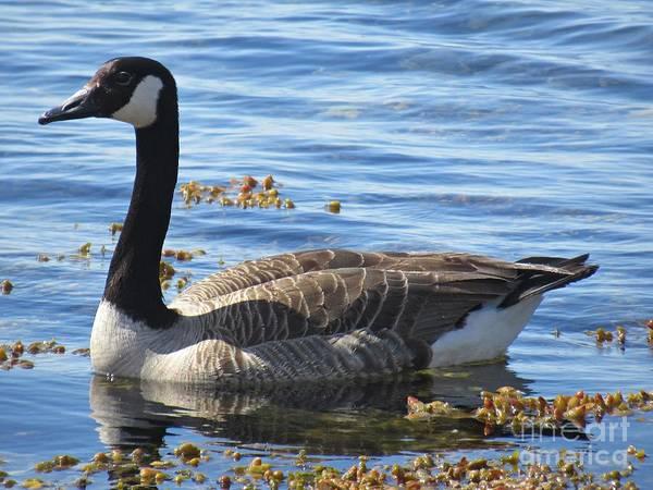 Photograph - Wild Goose In Stendorren by Chani Demuijlder