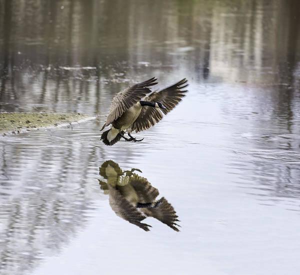 Photograph - Wild Goose Landing by Jim Dollar